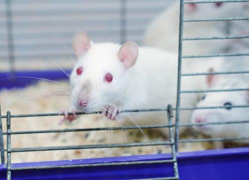 El sorprendente experimento del parque de las ratas